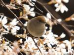 Blackcap Female - Sylvia atricapilla