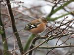 Chaffinch male - Fringilla coelebs