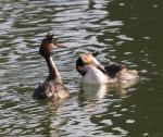 Great Crested Grebe - Podiceps cristatus - Courtship