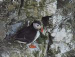 Puffins at Bempton Cliffs