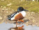 Shoveller Duck - Anas clypeata