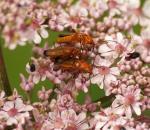 Soldier beetle - Rhagonycha fulva