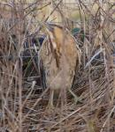 Bittern at Lavell's Lake, Winnersh