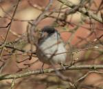 Blackcap male - Sylvia atricapella