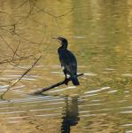Cormorant - Phalacrocorax carbo at Maiden erleigh Lake