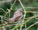 Dunnock - Prunella modularis - AKA Hedge sparrow