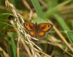 Gatekeeper Butterfly - Pyronia tithonus