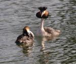Great Crested Grebe - Podiceps cristatus Courtship