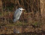 Grey Heron - Ardea cinerea, at Winnersh