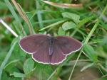 Ringlet Butterfly - Aphantopus hyperantus