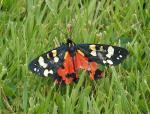 Scarlet Tiger Moth - Callimorpha dominula