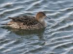 Pintail (male and female) - Anas acuta