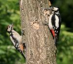 Great Spotted Woodpeckers - Dendrocopos major