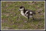 Egyptian gosling