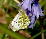 Female Orangetip- Anthocharis cardamines