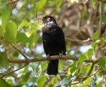 Pied Blackbird- Turdus merula