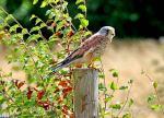 Kestrel- Falco tinnunculus