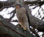 Sparrowhawk- Accipiter nisus