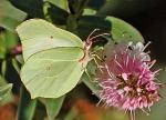 Brimstone butterfly- Gonepteryx rhamni