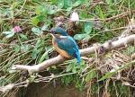 Kingfisher- Alcedo atthis