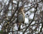 Song Thrush- Turdus philomelos