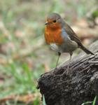 Robin - Erithacus-rubecula