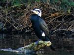 White headed cormorant.