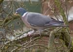 Wood Pigeon - Columba palumbus
