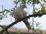 Collared Dove - Streptopelia_decaocto