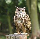 Click image for larger version.  Name:european_eagle_owl_P8286377.jpg Views:39066 Size:212.1 KB ID:15698